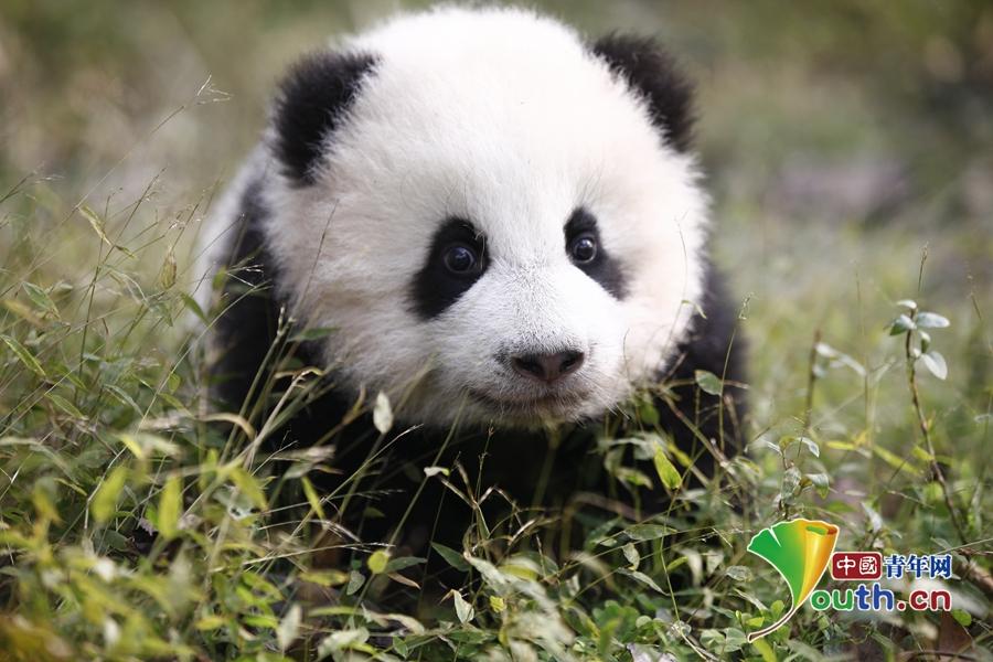 """在这里,记者们如""""好奇宝宝""""般被可爱的""""呆萌""""熊猫宝宝实力圈粉."""