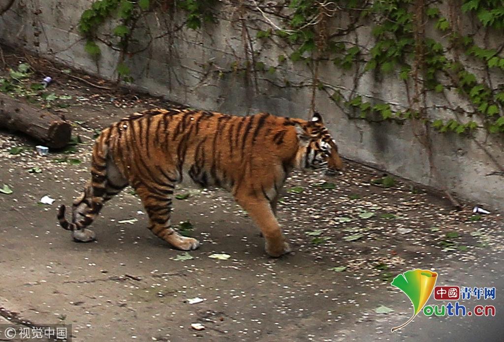 北京动物园狮虎山重装后首次接待游人