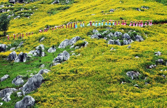 2018年5月20日,江西乐平怪石林景区举办怪石林花海千人旗袍艺术节活动,吸引了鹰潭、贵溪、鄱阳、余干、万年等地的1000余名旗袍爱好者参加。近日,景区内的千亩金鸡菊花盛开,形成了独特的石林花海奇观。旗袍佳丽们或漫步金鸡菊花海,或依偎嶙峋怪石,优美的身姿和喀斯特风光相得益彰,组成了一幅幅美丽的画卷,为游客呈现了一道人文和自然相互交融的视觉盛宴。(程万海 郎治平 摄影报道)  位于江西省乐平市众埠镇的怪石林景区是国家4A级景区,大自然的鬼斧神工造就了千奇百怪、栩栩如生的石林景观。图为怪石林景区金鸡菊花