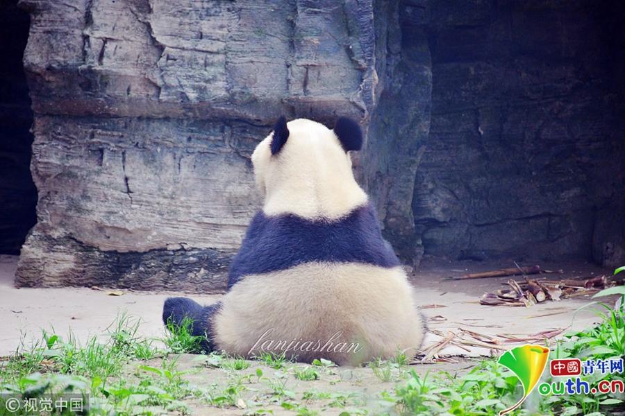 大熊猫独自呆坐 背影圆滚滚呆萌可爱