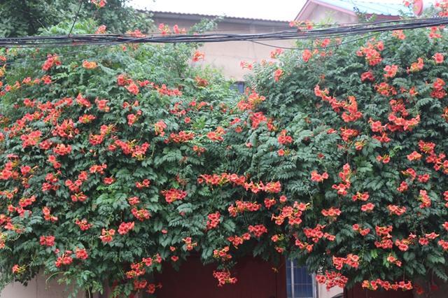 偶然发现了路边一户农家大门上的一丛葱茏茂盛,开得火红的凌霄花!