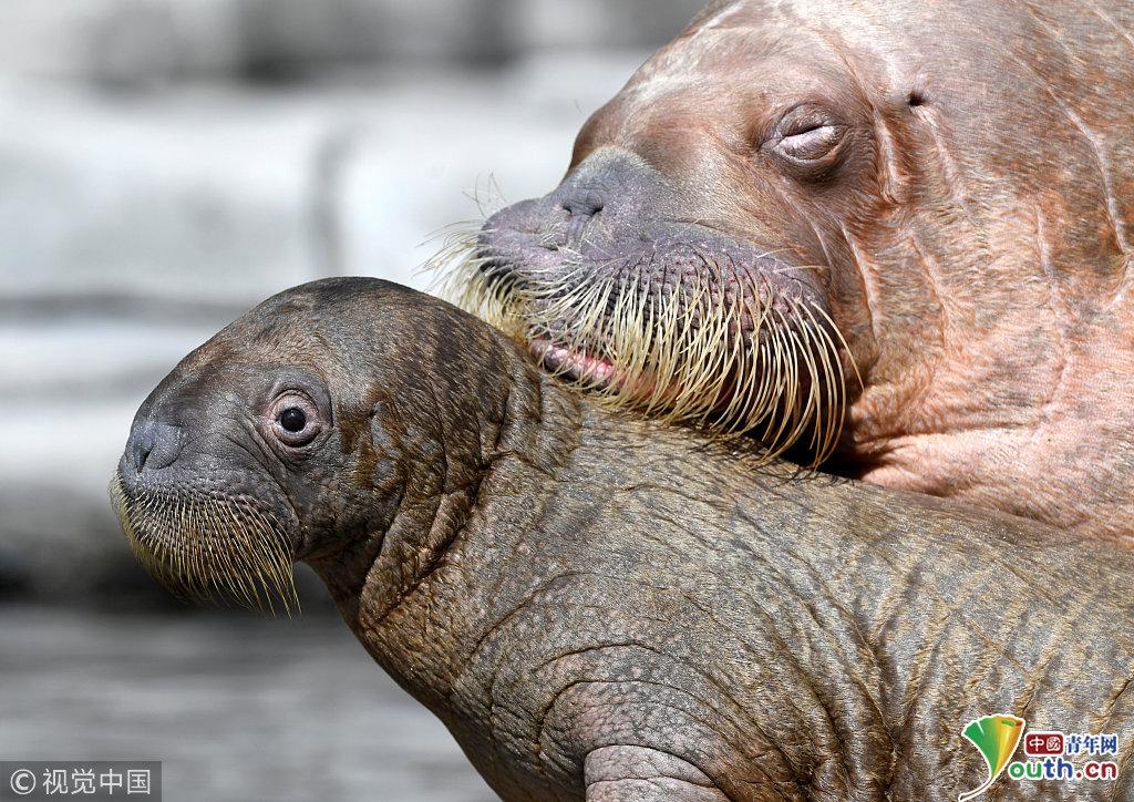 """德国动物园海象宝宝首次亮相 """"粘人精""""一脸惊讶萌翻了"""