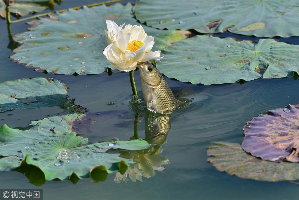 北京:鲤鱼