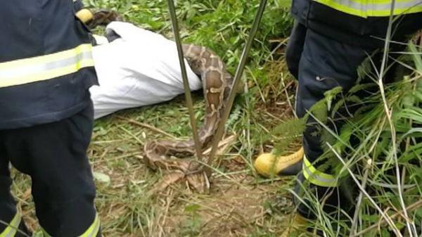 大蟒蛇和红豺狼pk的图片