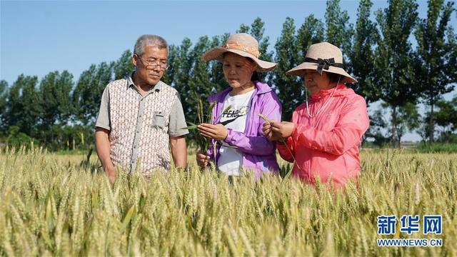 新华网客户端河北巨鹿:小麦预产忙