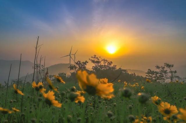 世界那么大■即刻出发!宁波最美风车公路上金鸡菊绚烂绽放
