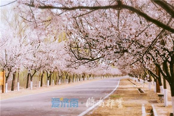 """「旅行柚子君」春染长堤,济南黄河""""樱花大道""""闪耀绽放"""