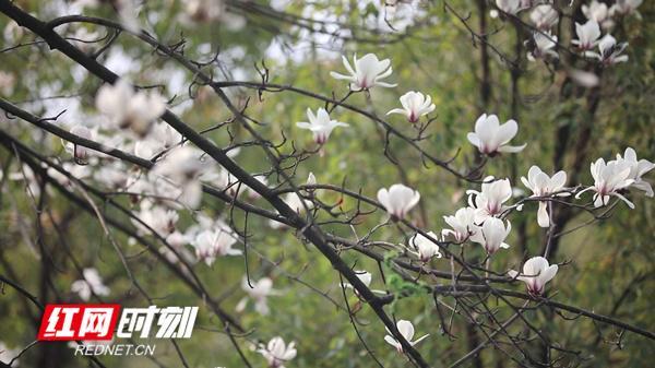 「红网」新田:白玉兰不叶而花俏争春
