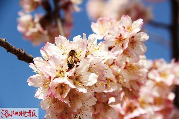 旅行柚子君■春风十里 樱桃花开香如故