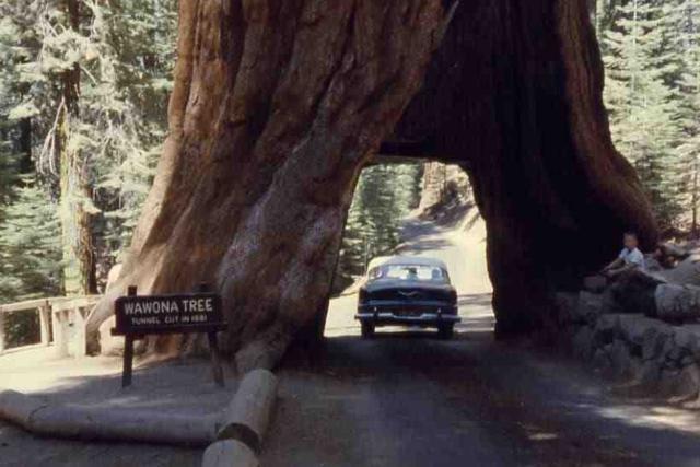 """『约吗旅行』全球唯一""""隧道树"""",被挖空树根后,只剩130年寿命"""