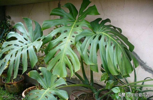 家居那点事@4月养龟背竹、幸福树,做好这3点,不黄叶、不烂根,叶子绿油油!