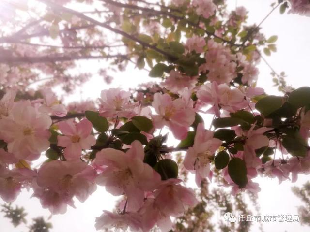 「约吗旅行」你知道吗,任丘的公园有多美——海棠