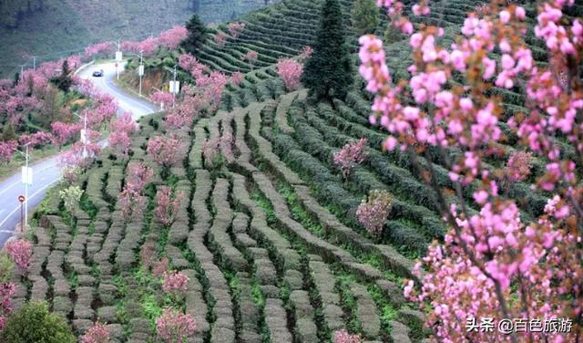 旅行柚子君■哇!乐业大片樱花惊艳来袭!这个最美茶园喊你去赏樱啦!