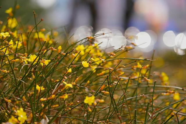 娇容|美图|春天的脚步近了,报春的花儿绽放娇容……