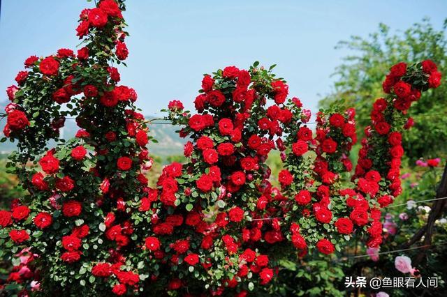 #世界那么大#初夏青岛春天享受 鲜花盛开 永远的20度