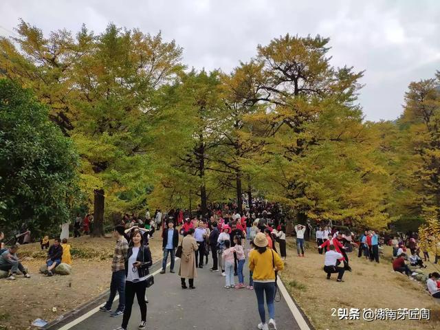 永州银杏第一村桐梓坳风景区前来观赏银杏的游人如织