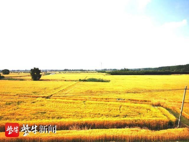 扬眼兴化这个镇处处丰收景象金黄色的麦子美成一幅幅油画