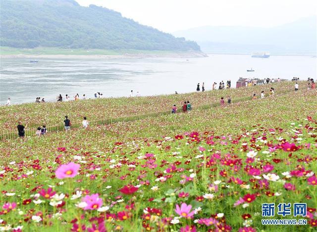【中国日报网】重庆:格桑花开长江畔