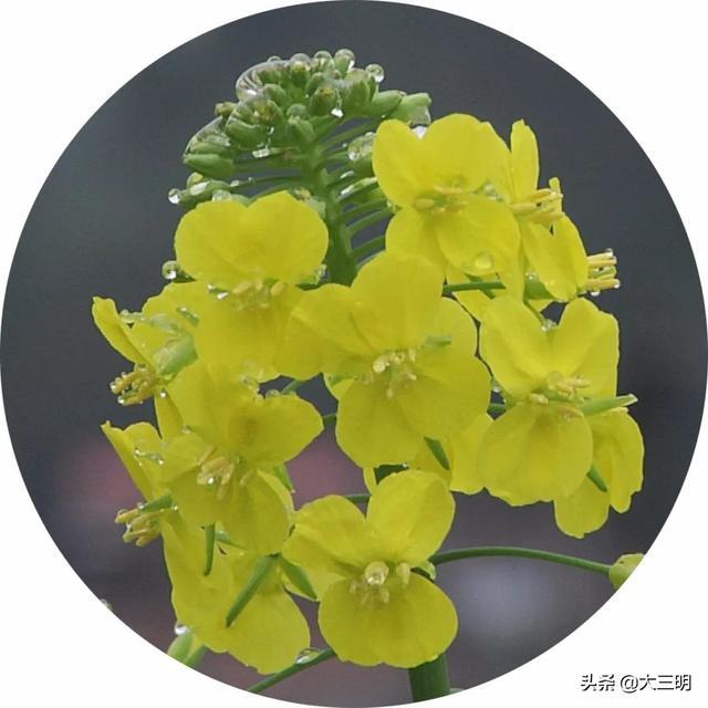 [旅行柚子君]【中国绿都·最氧三明】春意浓!畲乡油菜花上线,在细雨中迎春开放