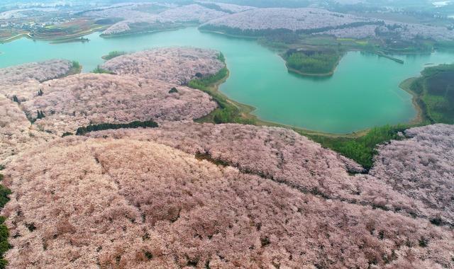 旅行百事通▲春光正好,想前往红枫湖看樱花?莫慌,右二樱花园仍封闭