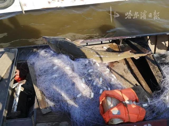 """环球网一网下去,黑龙江渔民捞起两个""""活化石""""……立即放生"""