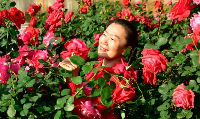 『中国日报网』云南弥勒:玫瑰芬芳游客来