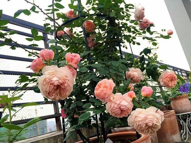 """#新家大作战#阳台养花,注意""""4点"""",啥花都能养好,花开爆盆,枝繁叶茂"""