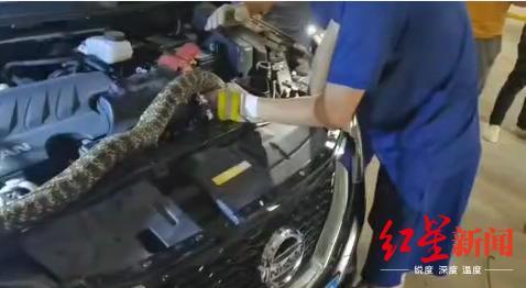 [小蜜疯汽车]吓傻了!引擎盖里惊现2米长的大蛇!有5、6斤重,找它花了3个小时