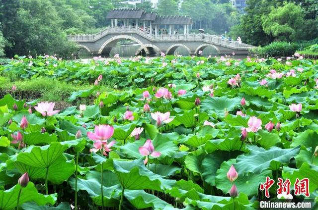 中国新闻网福州公园荷塘美景引游人