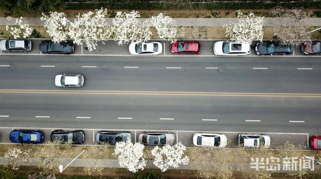 旅行柚子君@青岛崂山区海宁路玉兰花开 从浮山脚下一直延伸到海边