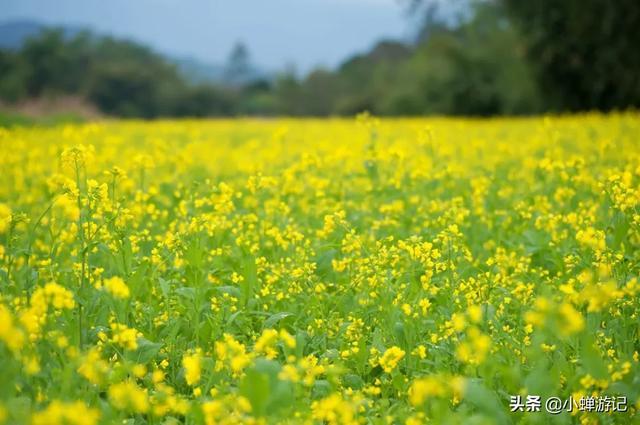 约吗旅行@春天的漳州 南湖公园,金黄的油菜已盛开花海、漫山格桑花已绽放