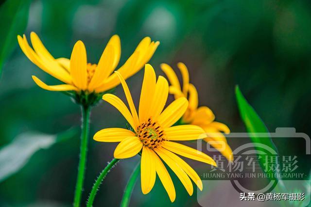[一朝风月]遇见美丽绽放的菊芋花,金黄娇艳的花朵熟悉的美