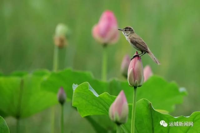 「我心有海随」荷花娇 风中摆绿裙,雨中笑微微