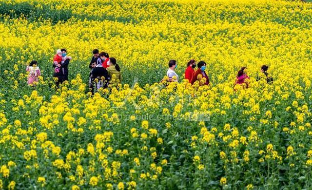 「人民图片」重庆南川:油菜花开春意浓