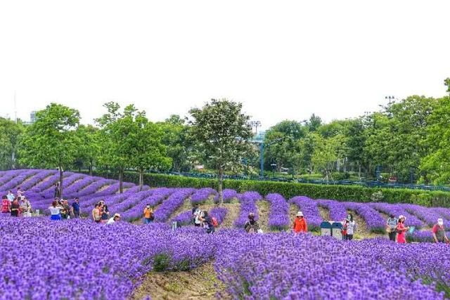 """上观新闻魔都""""普罗旺斯""""有多美?3100余名市民今出游紫色薰衣草花海"""