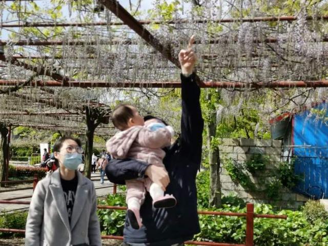 「趣旅游」嘉定紫藤园今起预约入园,预约游览时间为期一个月
