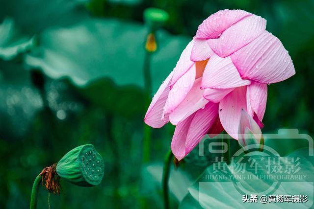 饮了晚风■荷花盛开的夏天,绿叶中娇美的花朵很漂亮