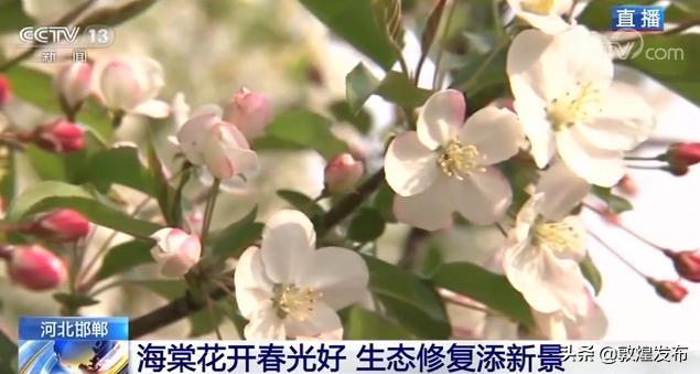 玩乐足迹@河北邯郸:海棠花开春光好 生态修复添新景