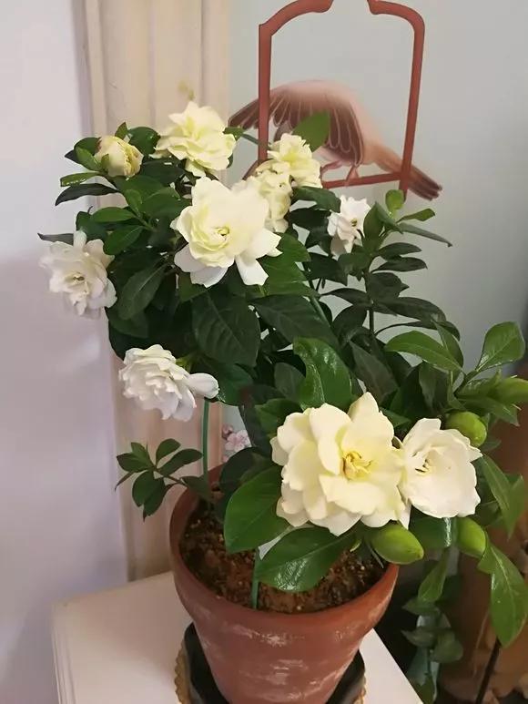 『甜蜜的生活』给花浇点醋,7天黄叶变绿叶,促生长开花多,防虫祛病害