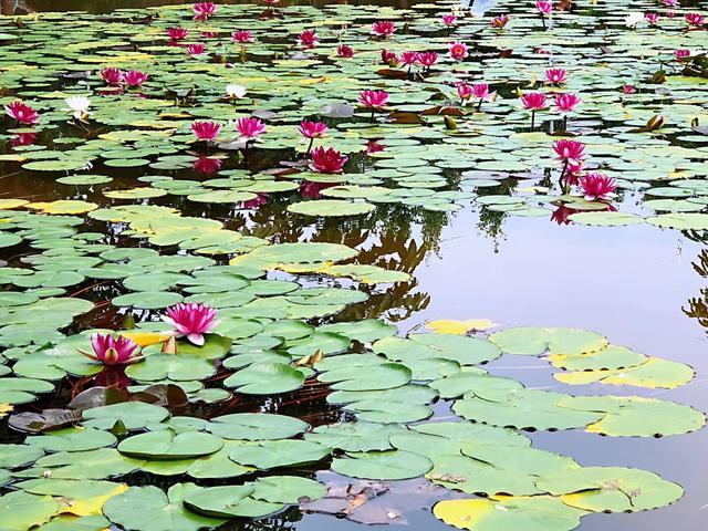 旅行百事通:西安最大最美的荷花文化公园-中国荷苑,非常美