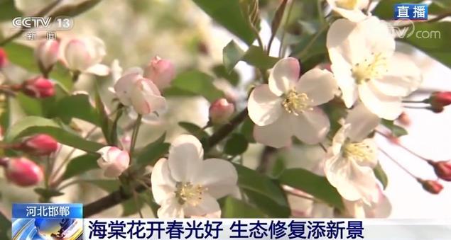 「国际在线」河北邯郸:海棠花开春光好 生态修复添新景
