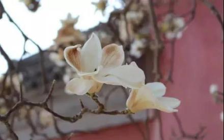 清西陵永福寺玉兰花开,我与春风皆过客