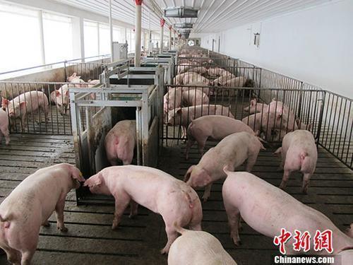 『中国新闻网客户端』农业农村部:强化生猪收购贩运管理 压实防疫主体责任
