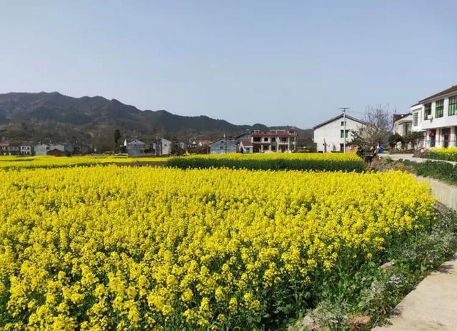 #趣旅游#西乡县柳树镇三义村油菜花开向西乡美女招手
