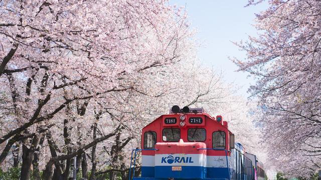 [趣旅游]「星級」春日限定,釜山、鎮海3日追櫻之旅