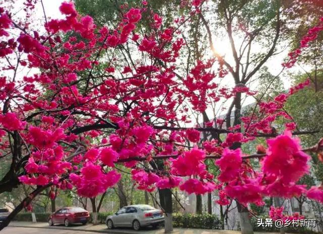 『世界那么大』每日春花|樱花:四野东风迁碧草,落花深处一枝樱