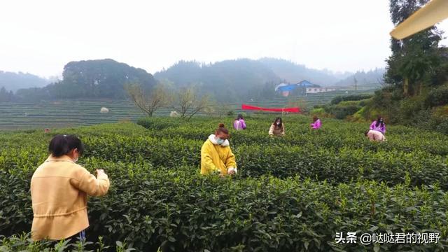 """『约吗旅行』3月28日邀您来体验夹江首届""""青衣江茶""""采茶节!"""
