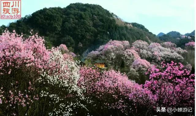 [趣旅游]早春江油的吴家后山,辛夷花已开的漫山遍野,快来感受春天的气息