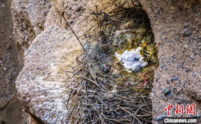 中国新闻网客户端甘肃瓜州首次野外发现世界濒危珍禽黑鹳巢穴和雏鸟