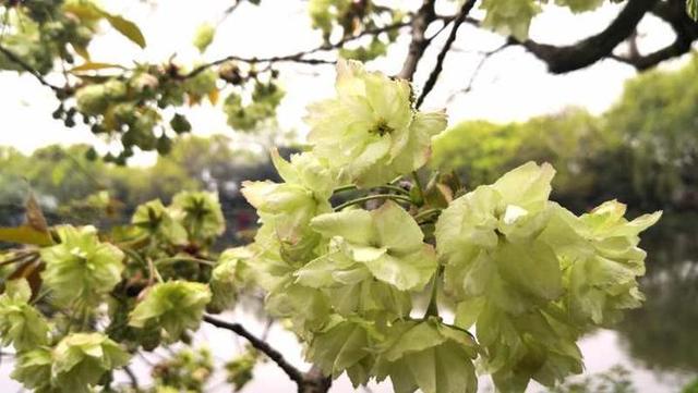 """趣旅游:三潭印月那株""""国宝级""""绿樱花开了,真心好看,快去打卡"""